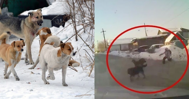 Стая бродячих собак спасла девушку от изнасилования в Калуге