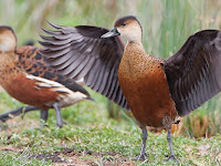 Panduan Lengkap Cara Sukses Budidaya Burung Belibis Untuk Pemula