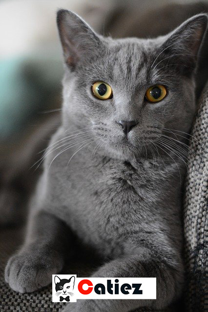 British Shorthair Cat - all you want to know about British Shorthair Cats