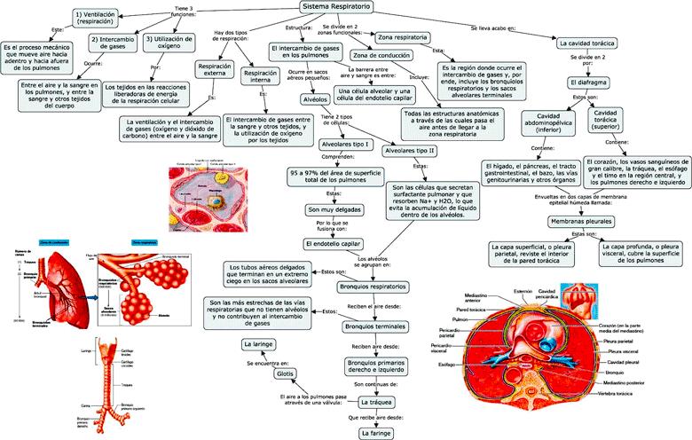Mapa de concepto sobre el sistema respiratorio
