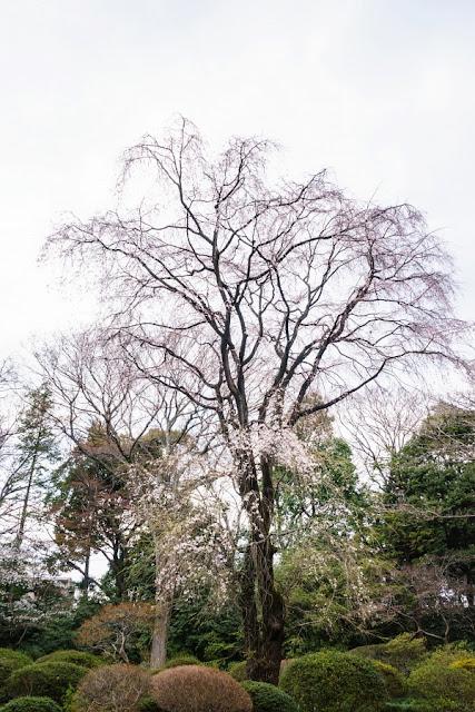 六義園(文京区)の「吟花亭跡の枝垂れ桜」