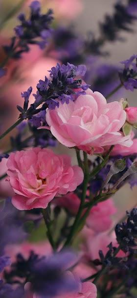 خلفية ورد اللافندر الجميل بجوار الأزهار الوردية