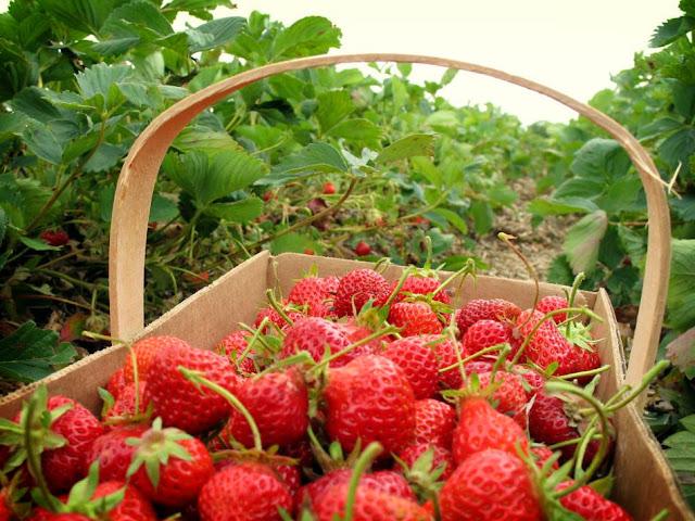 Kebun Strawberry, Si Merah Merona dari Tanoh Gayo