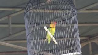 lovebird kusumo suara lovebird kusumo