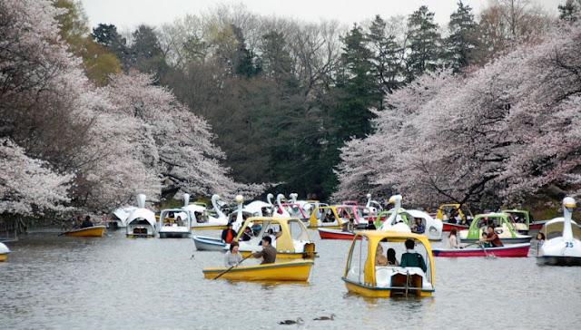 4 Destinasi Lokasi untuk Melihat Keindahan Bunga Sakura di Tokyo Jepang