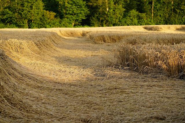 2019-20 Wheat loss claim