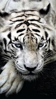 Big White Tiger Mobile HD Wallpaper