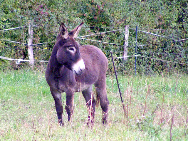 Donkey in a field, Indre et Loire, France. Photo by Loire Valley Time Travel.