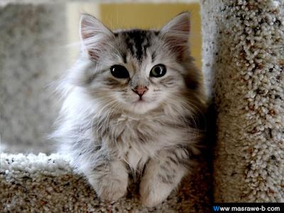 صور صور قطط كيوت 2020 خلفيات قطط جميلة جدا cats18.png