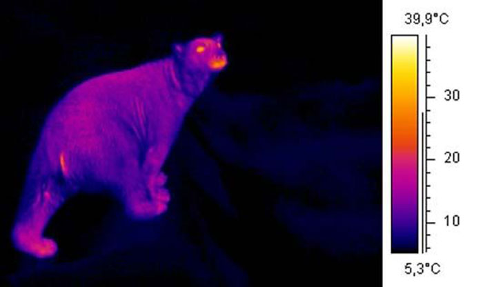 Beruang Kutub Infrared