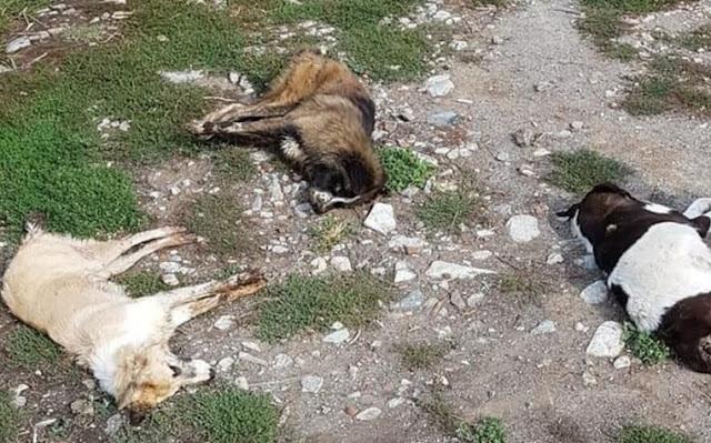 Фермер отравил 40 собак после того, как бездомный пес укусил его козу!