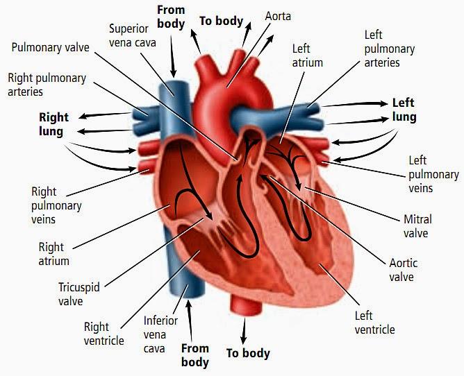 cara denyut jantung