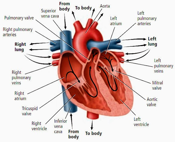 Cara Menjaga Denyut Jantung Tetap Stabil
