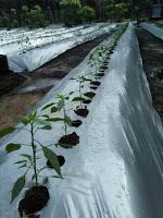 jarak tanam, cara menanam, budidaya tanaman, jual benih, toko pertanian, toko online, lmga agro