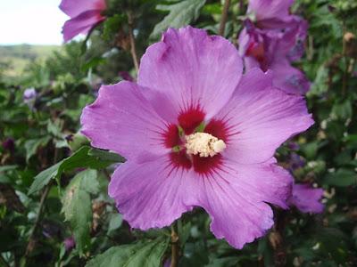 hibisco morado