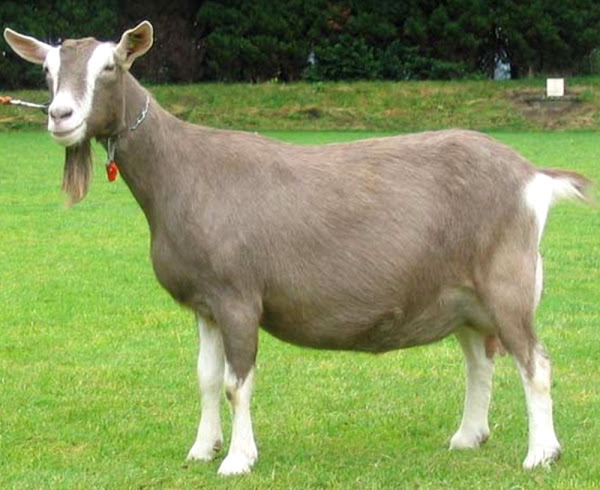Toggenburg Goat Breed Information Modern Farming Methods