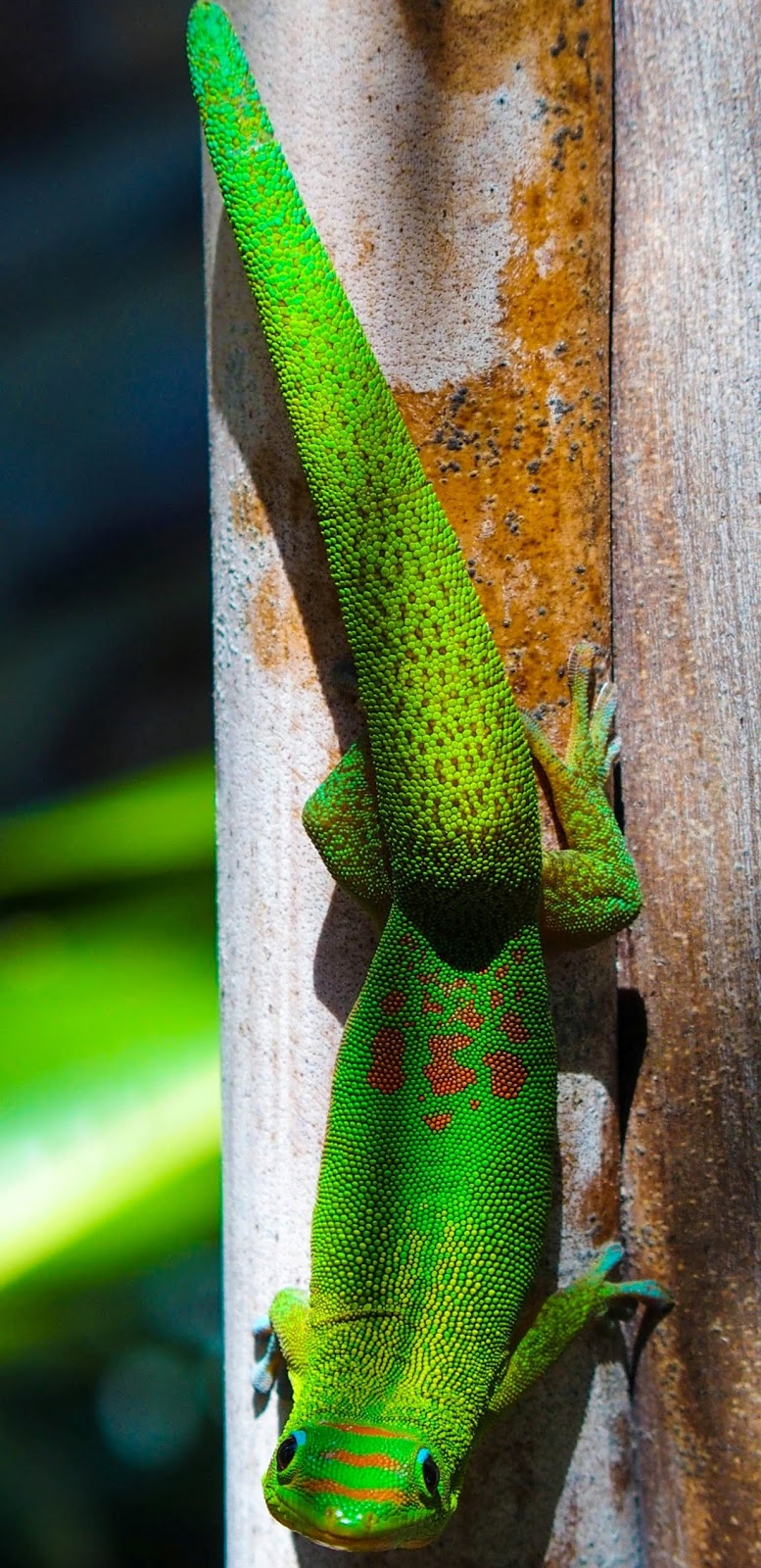 Photo of a green gecko hawaii.