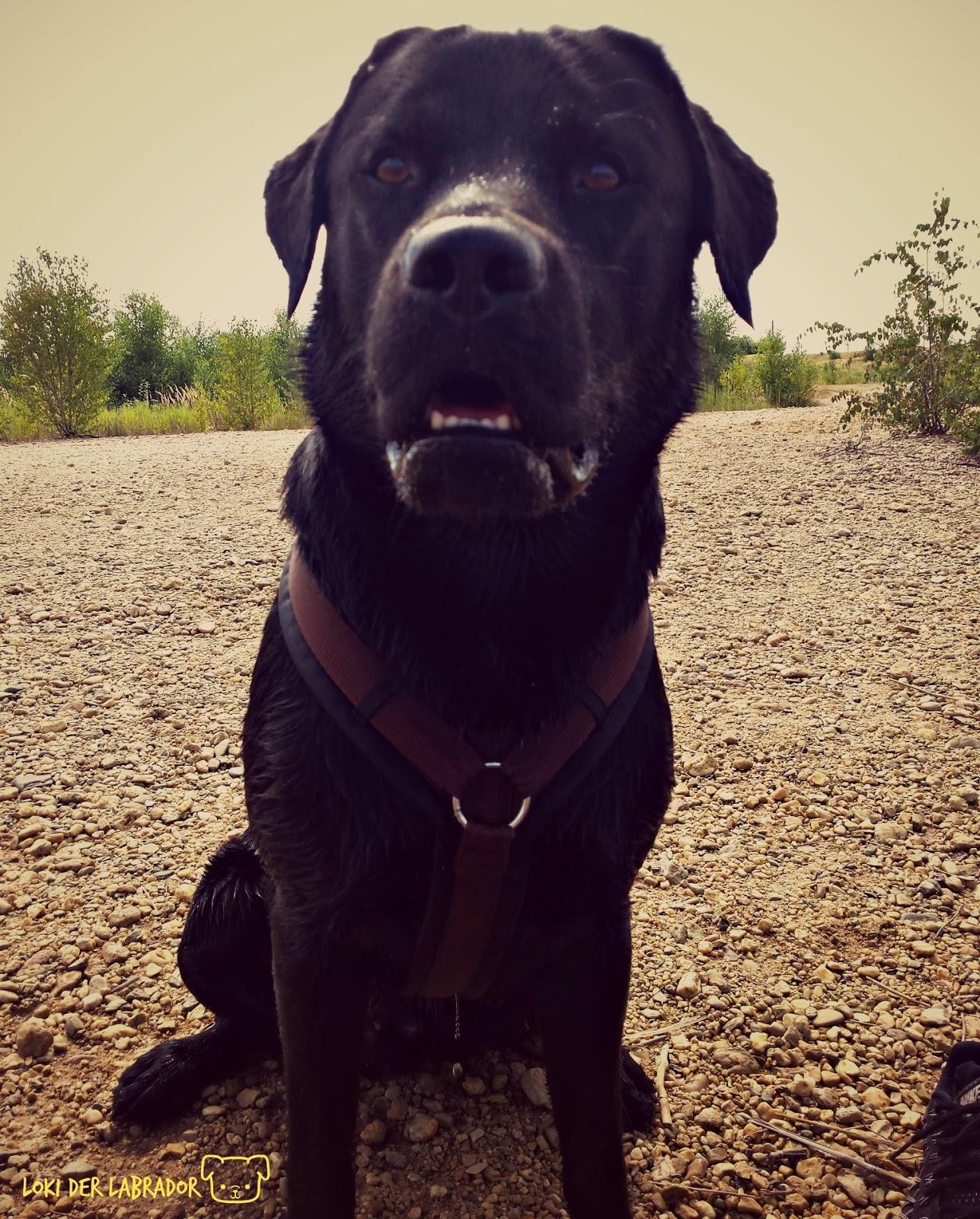 Schwarzer Labrador Loki gestresst am See