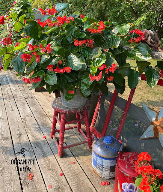 Photo of a bucket of dragon wing begonias on a stool