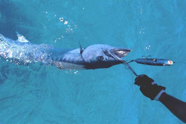 barracuda bite humans - photo #18