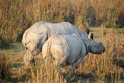 Northeast India Biodiversity showing two one-horn rhinoceros
