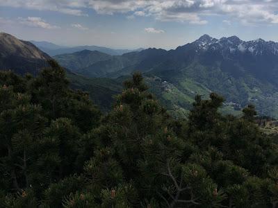 [Pinaceae] Pinus mugo.