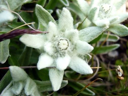edelweiss flower wallpaper