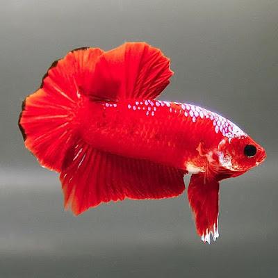 Gambar Ikan Cupang Hellboy