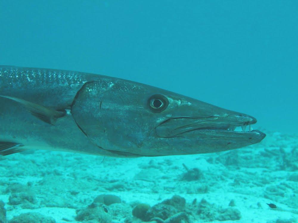 Rambling Jill: Great Barracuda