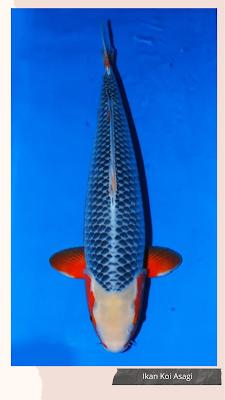 Jenis ikan koi Asagi