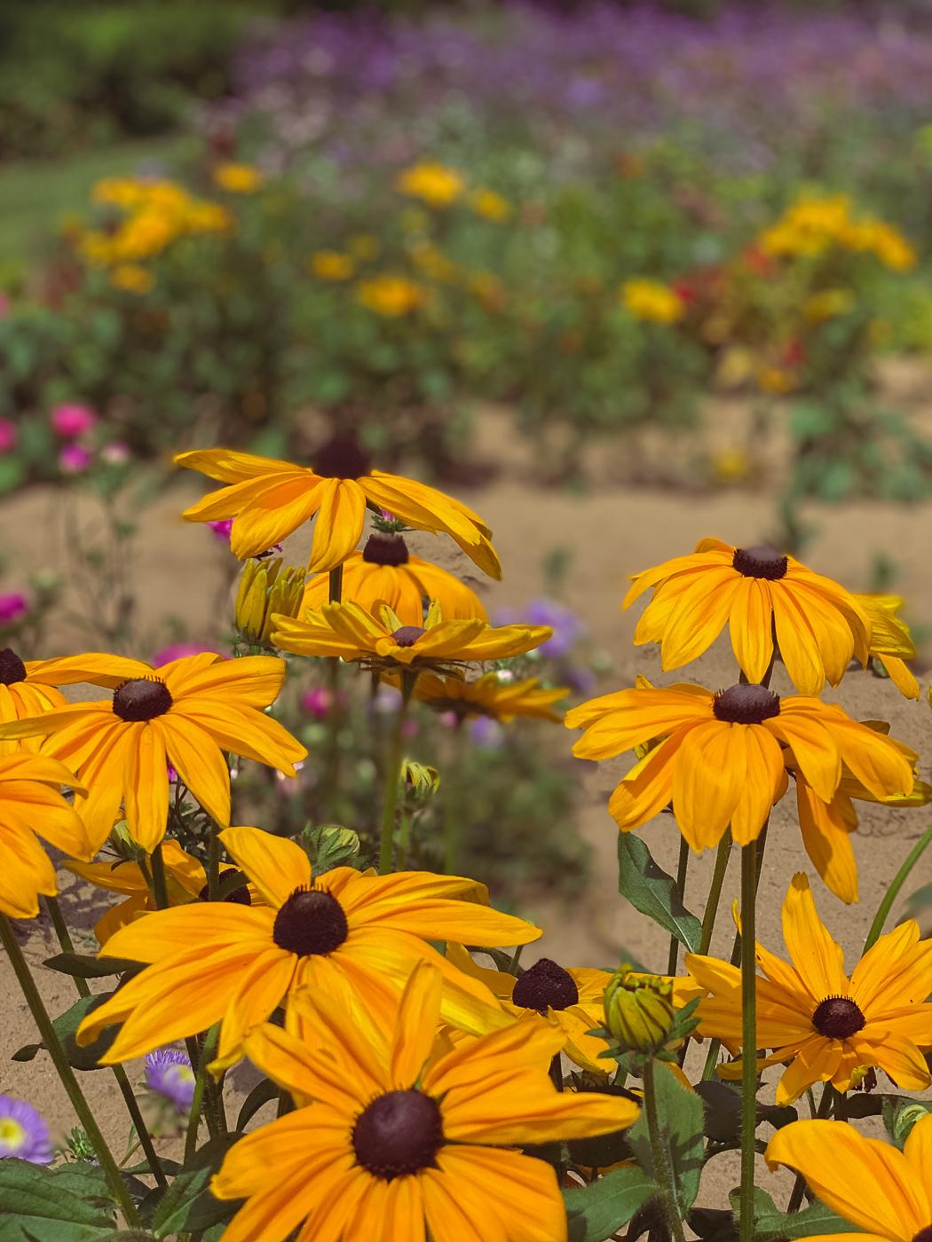 black eyed susan, rudbeckia hirta, summer garden flowers, blooming flowers, summer flowers that bloom