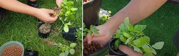 How to grow basil in a fish pond