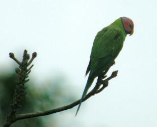 Parrots | Singapore Birds