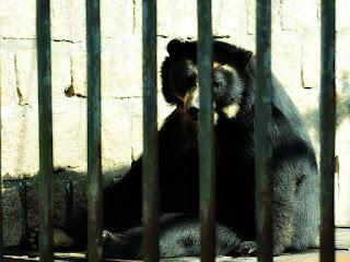Urso-de-óculos do Parque Zoológico de Sapucaia