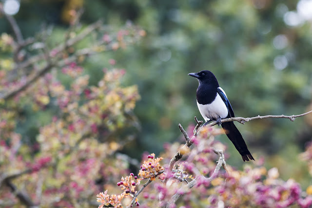 A Magpie in the colours of Autumn