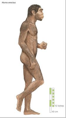 Homo Erectus - pustakapengetahuan.com
