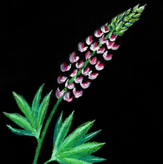Pink lupine soft pastel drawing