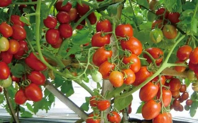 gambar cara menanam tomat