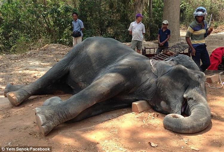 Sambo, o elefante que morreu de exaustão no Camboja