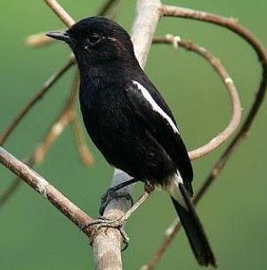 Download Suara Burung Decu Ngerol Gacor Durasi Panjang Mp3 Masteran Kumpulan Berbagai Kicau Dan Tips Burung