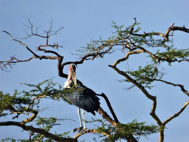 marabu africano serengeti