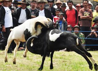 Sejarah-Seni-Ketangkasan-Adu-Domba-dan-Ciri-Ciri-Domba-Garut-Asli-Jawa-Barat