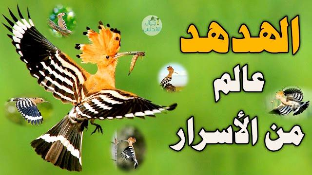 لماذا الهدهد من الطيور التى ذكرت في القرآن الكريم ؟|الهدهد عالم من الاسرار