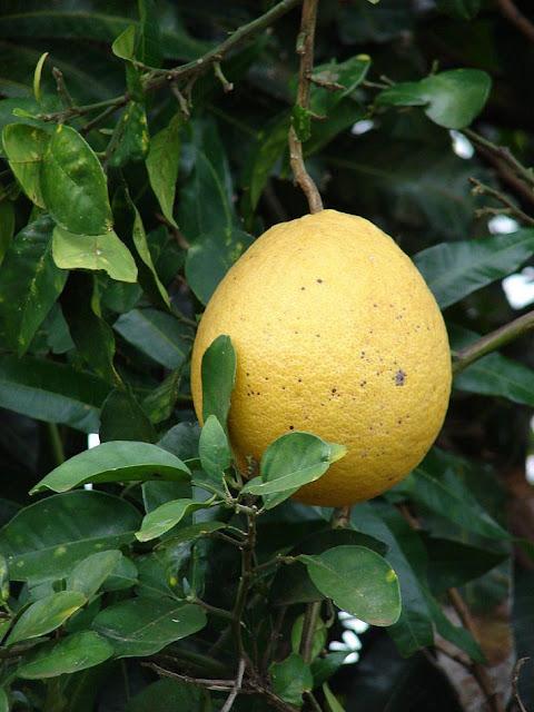 Quả Bưởi - Citrus maxima - Nguyên liệu làm thuốc Chữa Cảm Sốt