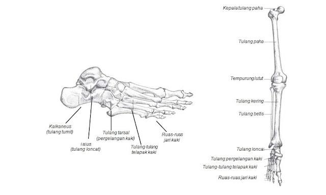 Sistem Gerak pada Manusia