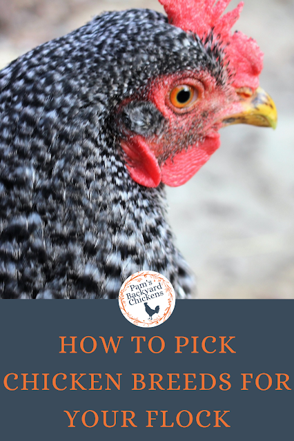 Before buying your birds, some initial chicken breed research can ensure your flock's productivity, climate hardiness and make sure you meet your goals.