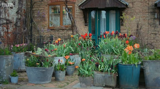 Tulips in Dolly Tubs