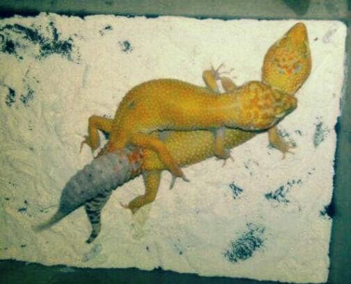 Cara Ternak Gecko Yang Benar Untuk Pemula - HoBinatang