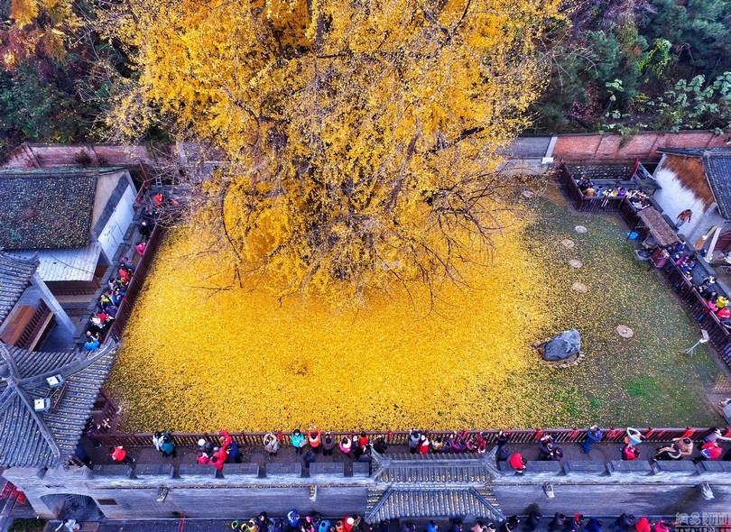 1400 ginkgo tree