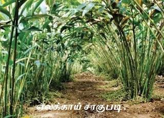 Cardamom cultivation